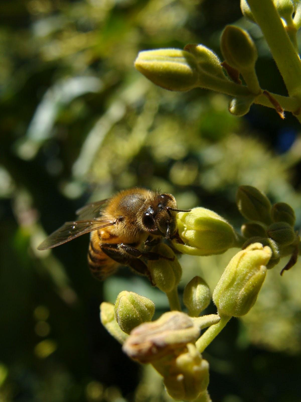 La importancia de las abejas para el aguacate   Fundación Amigos de ...