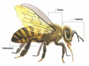 abeja-anatomia-externa