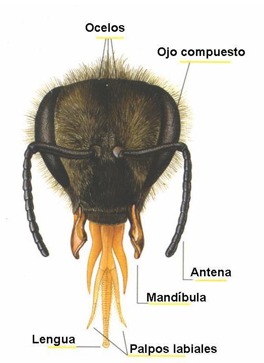 Anatomía externa de las abejas | Fundación Amigos de las Abejas