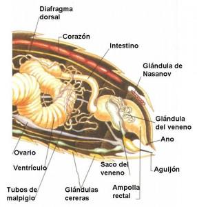 abeja-glandulas-cereras