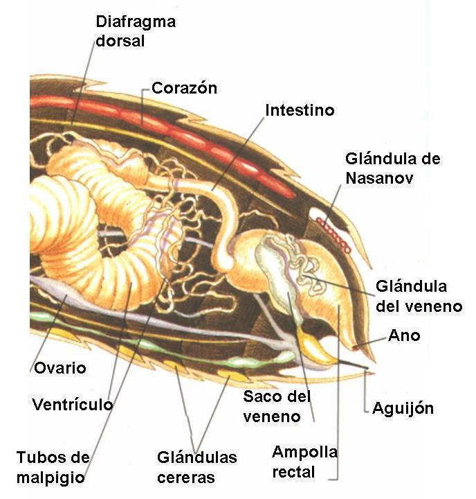 Anatomía interna de las abejas | Fundación Amigos de las Abejas