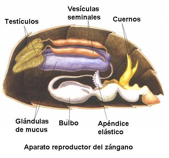 Anatoma interna de las abejas  Fundacin Amigos de las Abejas