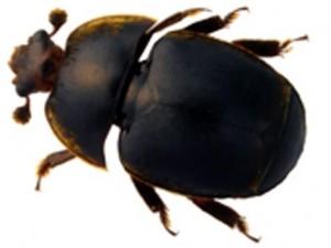 escarabajo-pequeño