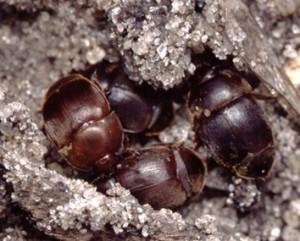 escarabajo-pequeño-adulto