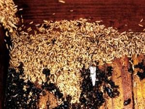 escarabajo-pequeño-larvas-3