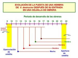 evolucion-obrera-varroa