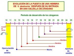 evolucion-varroa-zangano