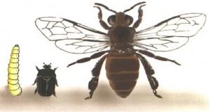larva-escarabajo-abeja