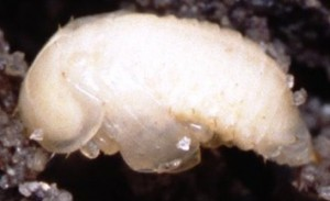 larva-pequeño-escarabajo-2