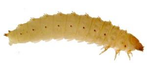 larva-pequeño-escarabajo