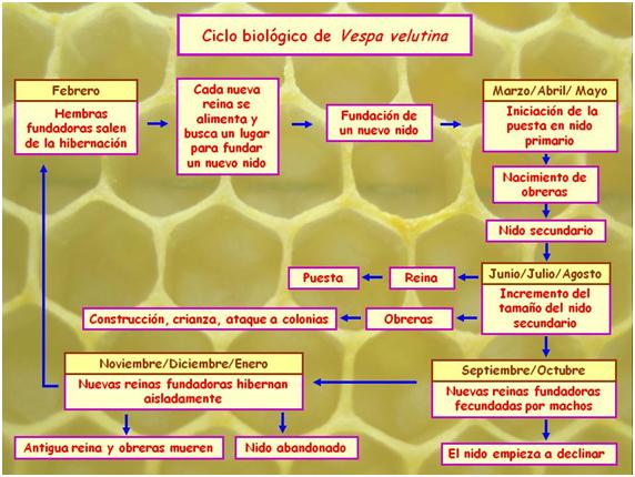 ciclo-biologico-vespa