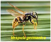 vespula-germanica