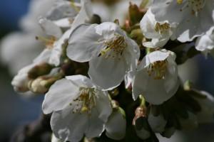 flores-almendro-abejas
