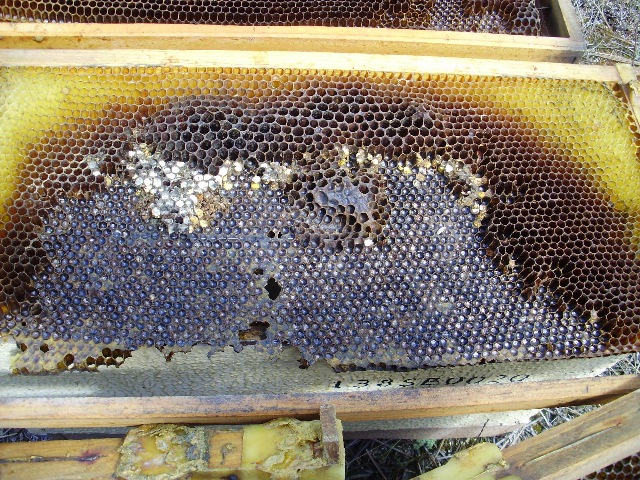 Limpieza de las colmenas a la salida del invierno   Fundación Amigos ...