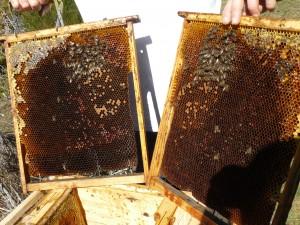 mucha cria para tan poca abeja 1