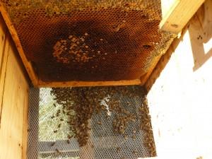 mucha cria para tan poca abeja2