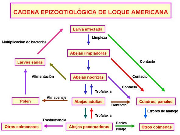 Cadena epizootiológica. Loque americana.