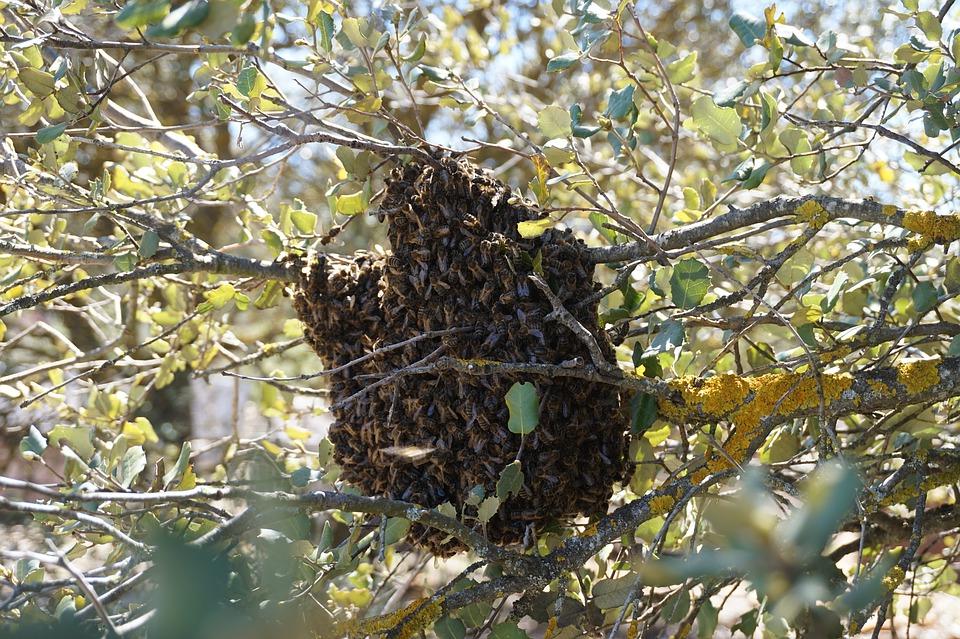Recuperando los enjambres de abejas   Fundación Amigos de las Abejas