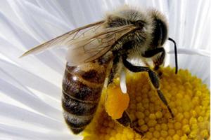 con-polen